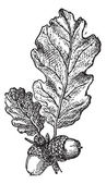 Acorn or Oak nut with leaves, vintage engraving. — Vettoriale Stock