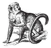 Squirrel monkey or Saimiri, vintage engraving. — Stock Vector