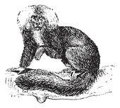 Sakis or Saki monkey, vintage engraving. — Stock Vector