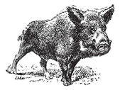 Boar or wild pig, vintage engraving. — Stock Vector