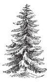 Norway Spruce or Picea abies vintage engraving — Stock Vector