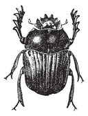 Beetle isolated on white, vintage engraving. — 图库矢量图片