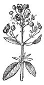 Figwort or Scrophularia, vintage engraving. — Stock Vector