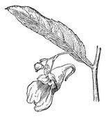 Impatiens or balsams vintage engraving — Stock Vector