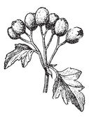 Common hawthorn or Crataegus monogyna vintage engraving — Stock Vector