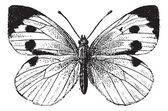 Fig. 22. pieride, vintage gravure. — Stockvector