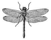 Fig 1. Dragonflies, vintage engraving. — Stock Vector