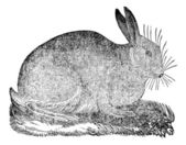 Hare, vintage engraving. — Stock Vector