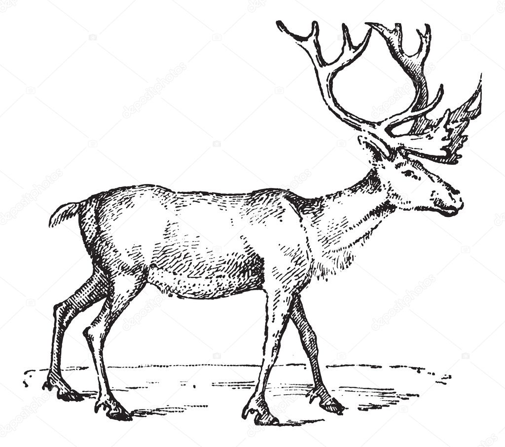 Reindeer, vintage engraved illustration. Dictionary of words and things - Larive and Fleury - 1895. — Stock Vector #9091342