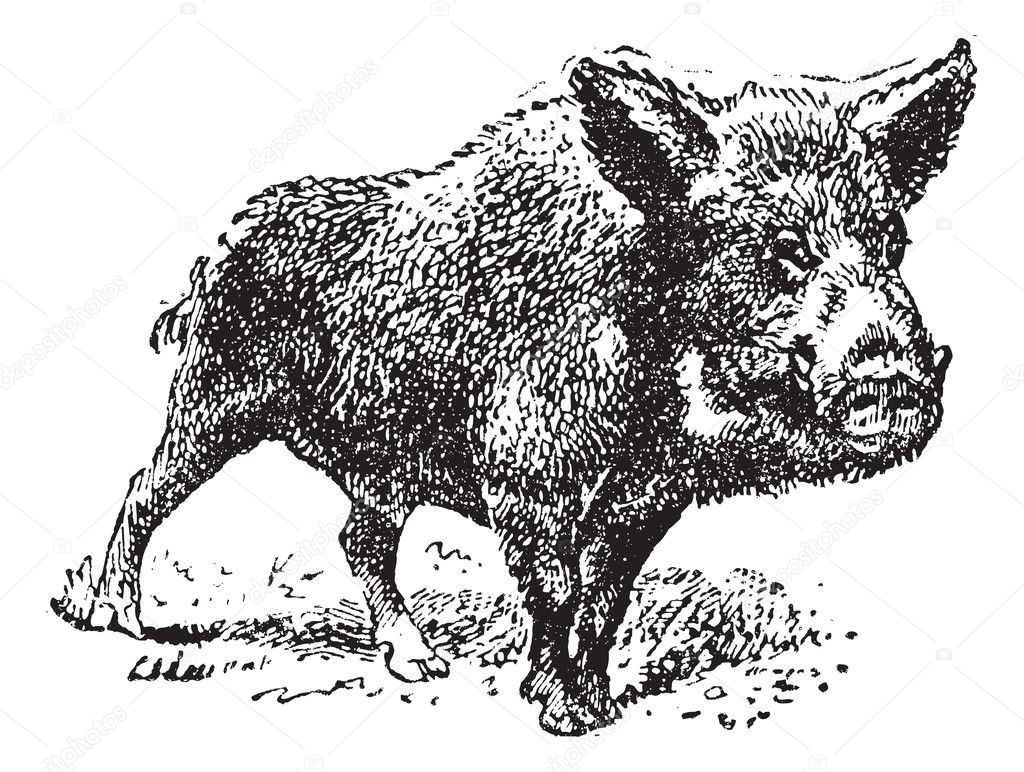 Boar or wild pig, vintage engraved illustration. Dictionary of words and things - Larive and Fleury - 1895. — Stock Vector #9091676