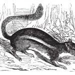 Ground squirrel (Tamias striatus) or Eastern chipmunk , vintage — Stock Vector #9104064