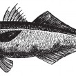 The bluefish (Pomatomus saltatrix) or tailor, vintage engraving. — Vector de stock  #9104409