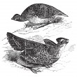 Tetras has fins on prairie chickens (Tetrao cupido), female (top — Image vectorielle