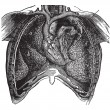 Постер, плакат: Thoracic cavity of man previously opened and showing the intern