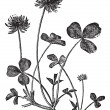 Cтоковый вектор: White Clover or Trifolium repens, vintage engraving