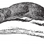 American Mink or Neovison vison, vintage engraving — Stock Vector #9105392
