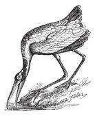 Wood Stork (Tantalus loculator) or Mycteria americana, vintage e — Stock Vector