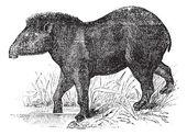 American tapir (Tapirus Americanus), vintage engraving. — Stock Vector