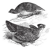 Tetras has fins on prairie chickens (Tetrao cupido), female (top — 图库矢量图片