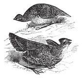 Tetras has fins on prairie chickens (Tetrao cupido), female (top — Stock Vector