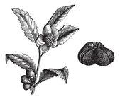 The (Camellia thea) or Camellia, vintage engraving. — Stock Vector