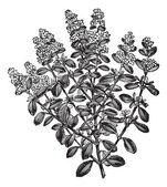 Thymus serpyllum or Breckland Thyme, vintage engraving. — Stock Vector