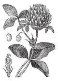červený jetel nebo trifolium pratense, vintage gravírování — Stock vektor