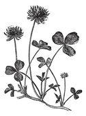 Vitklöver eller trifolium repens, vintage gravyr — Stockvektor
