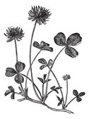 Gravura de trevo branco ou trifolium repens, vintage — Vetorial Stock