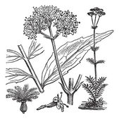 Garden Valerian or Valeriana officinalis, vintage engraving — Stock Vector