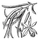 Vanilla or Vanilla planifolia, vintage engraving — Stock Vector