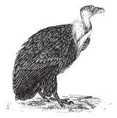 Griffon Vulture or Gyps fulvus, vintage engraving — Stock Vector