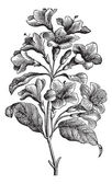 Diervilla rosea vintage engraving — Stock Vector