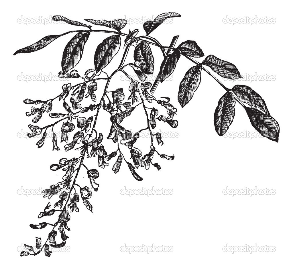 American Yellowwood or Cladrastis kentukea, showing flowers, vintage engraved illustration. Trousset encyclopedia (1886 - 1891). — Stock Vector #9105304
