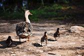 Kaczka z jej dzieci — Zdjęcie stockowe