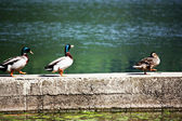 Ducks walking — Stock Photo