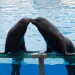 Sea lion kiss — Stock Photo