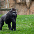 Gorillpose — Stock Photo #8187045