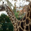 Giraffe — Stock Photo #8187105