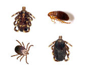 Ticks and Flea — Stock Photo