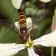 Stock Photo: Hover-Fly