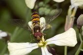 Hover-fly — Stockfoto