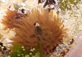 Anémona de mar rojo — Foto de Stock