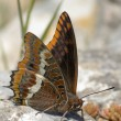 Two Tailed Pasha butterfly. Charaxes jasius — Stock Photo