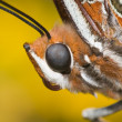 Two Tailed Pasha butterfly head closeup. Charaxes jasius — Stock Photo