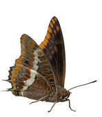 Two Tailed Pasha butterfly isolated. Charaxes jasius — Stock Photo