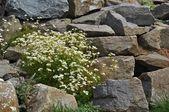 Flowers in the rock garden — Stock Photo