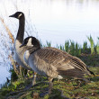 Canadian Geese Mates — Stock Photo