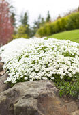 Path of White Flowers on Rocks — Stock Photo