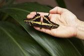 Grande farfalla atterra in mano — Foto Stock